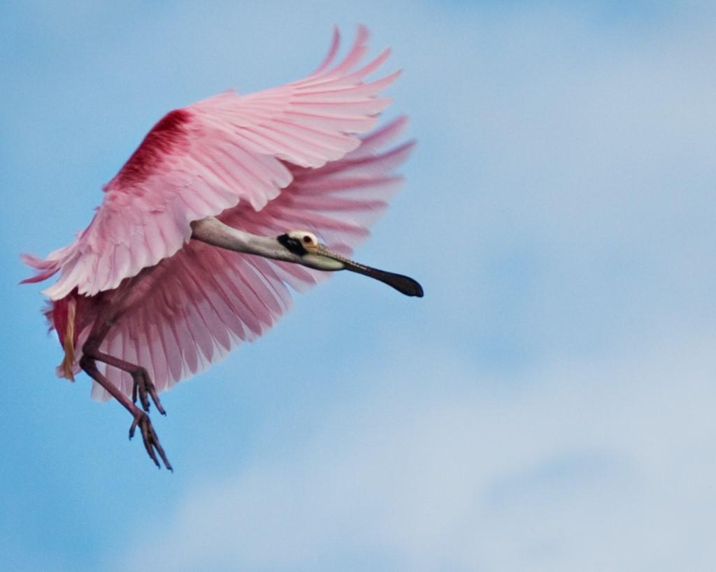 Flamingo Wings - Photographer Laura Densmore