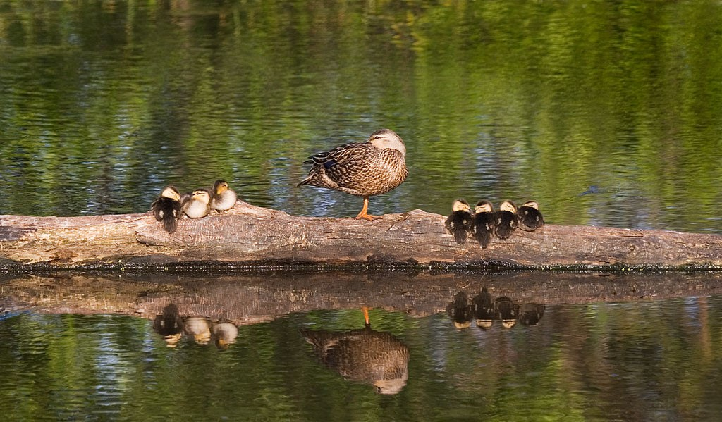 Duck Family Values - Laura Densmore Photographer