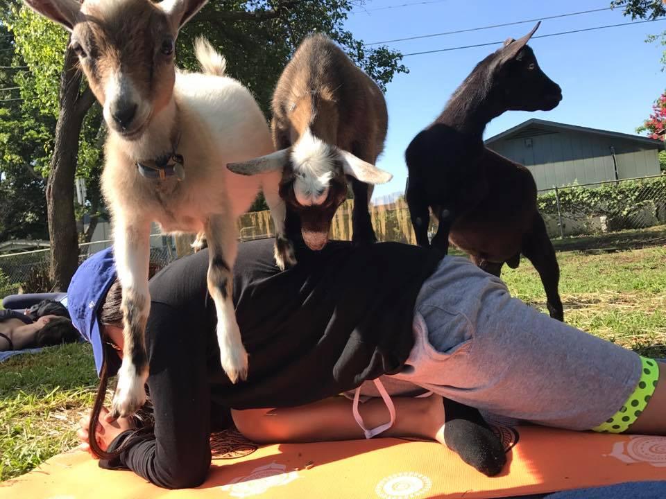 GYR Goats