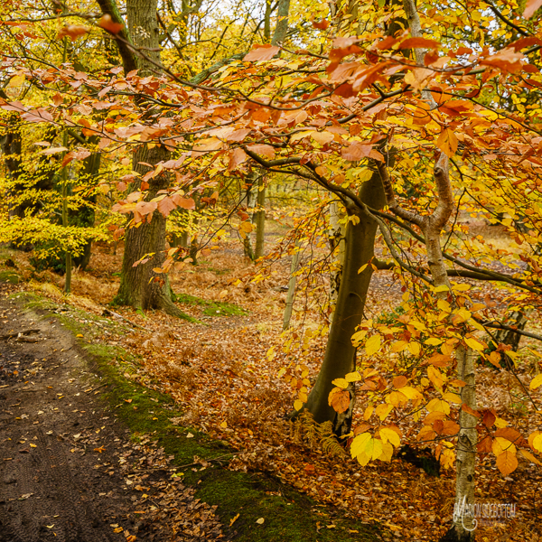 Beech Path