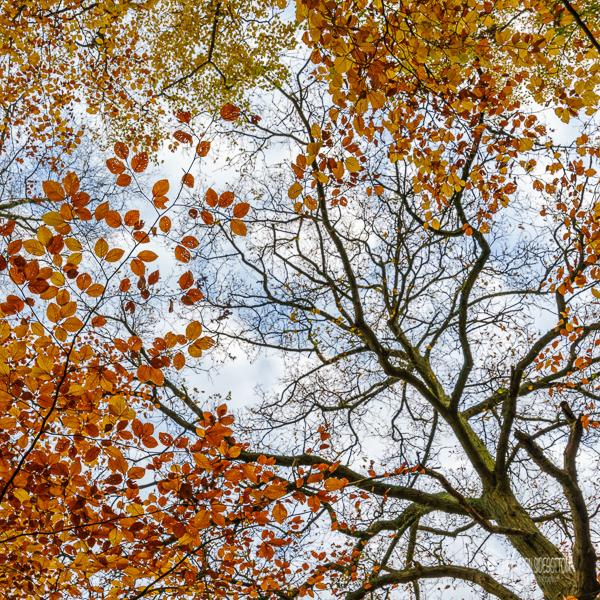 Beech Canopy in Autumn