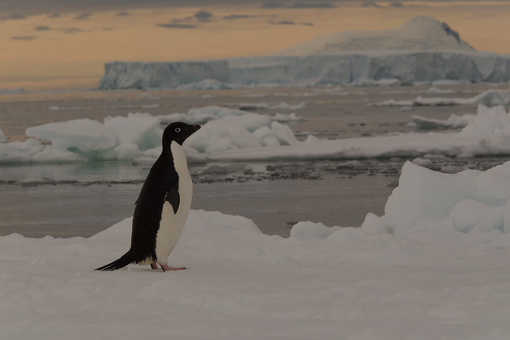 Gentoopenguin in Antarctica