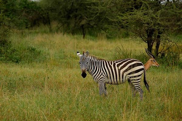 Ironic Nature, zebra and impala in Srengeti National Park, Tanzania