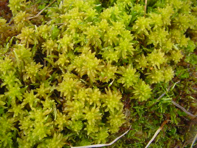 Close up photo of bog mosses