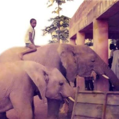 Elephants Roamed Free as far Karu, Nasarawa State, Nothern Nigeria in the 80s