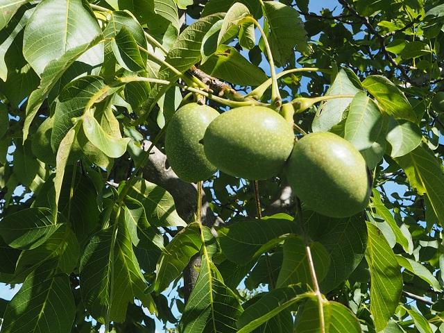 NZ Nuts 4