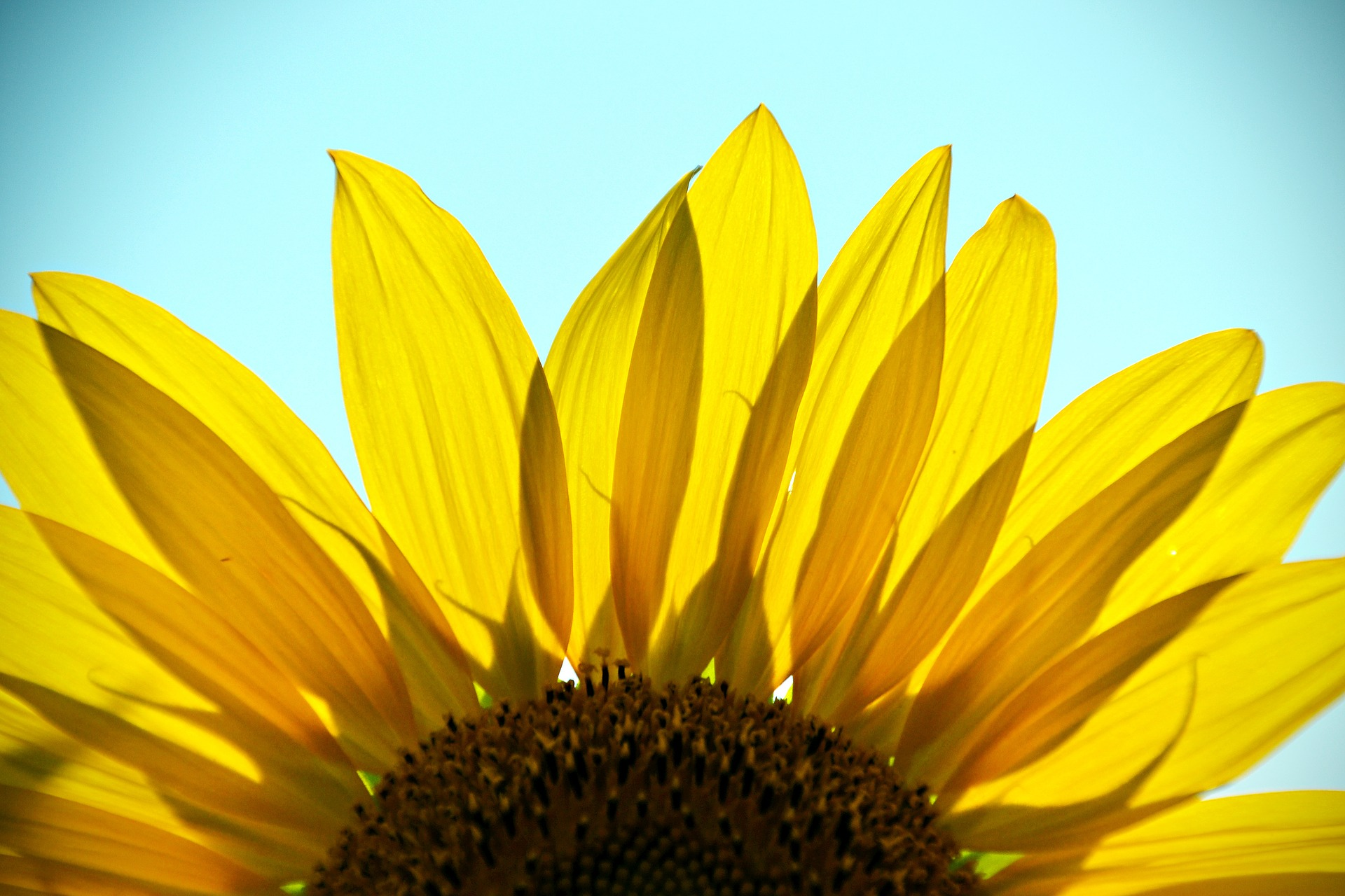 Find your Sunshine - here is a sunflower