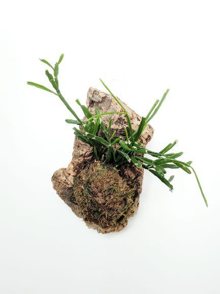 Mounted plant on cork bark