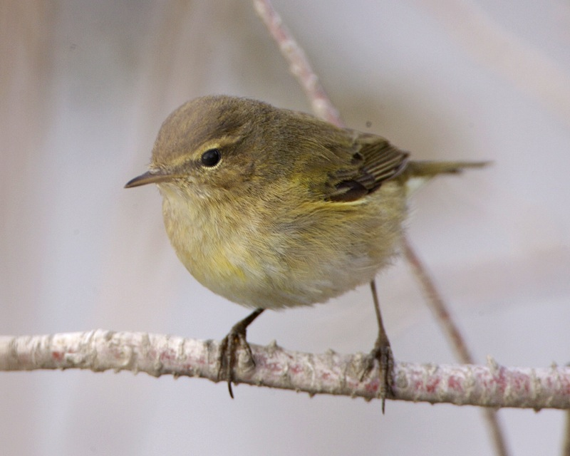 Chiffchaff, a tiny warbler