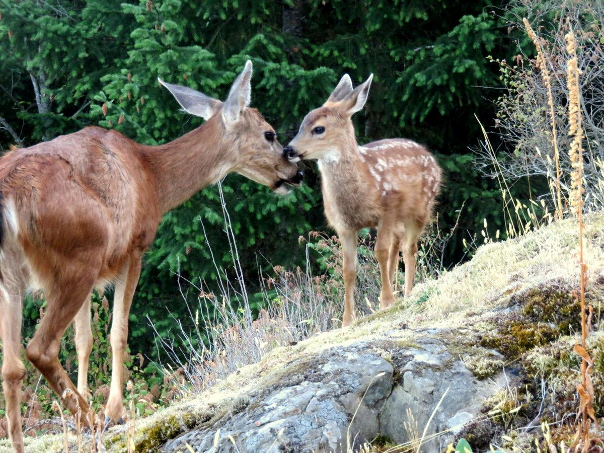 Deer Connecting