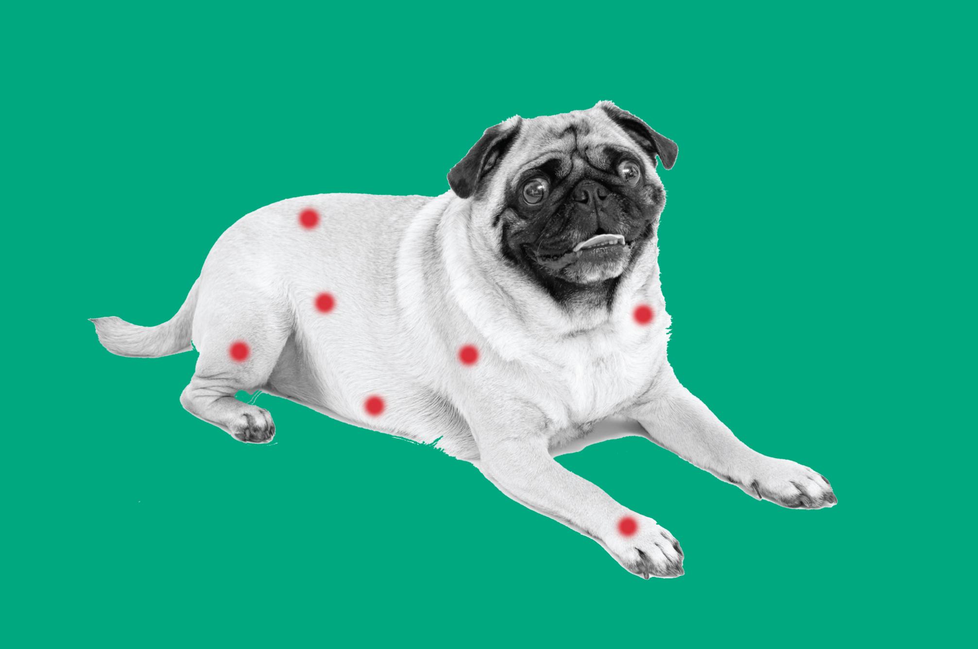 bingo dog