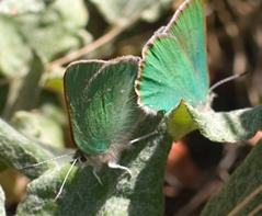 Green hairstreak butterfly