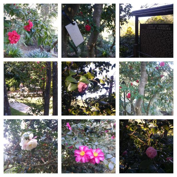 Camellias at Lisgar Gardens