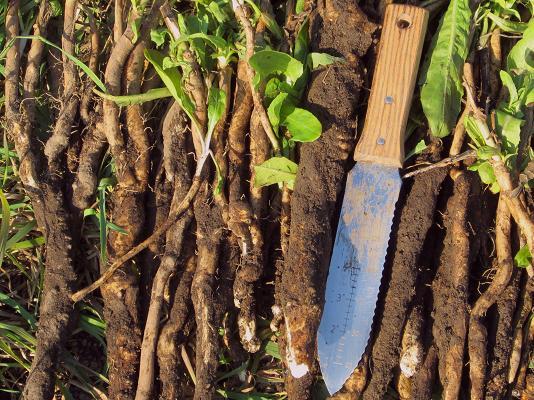 Dandy Roots