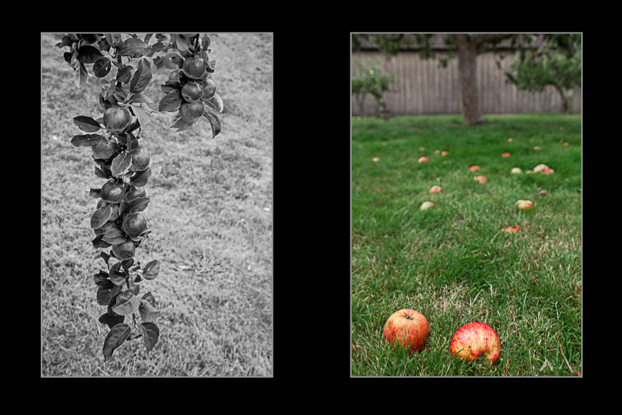 apple trees, two images, one in black & white and one in colour with apples in the foreground