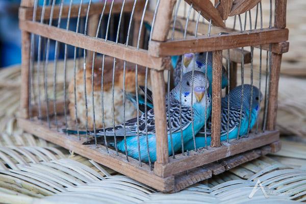 Birdes in a cage at the local market in San Miguel de Allende, Mexico