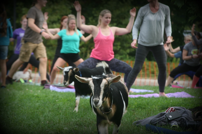 goat yoga in the woods saratoga springs new york