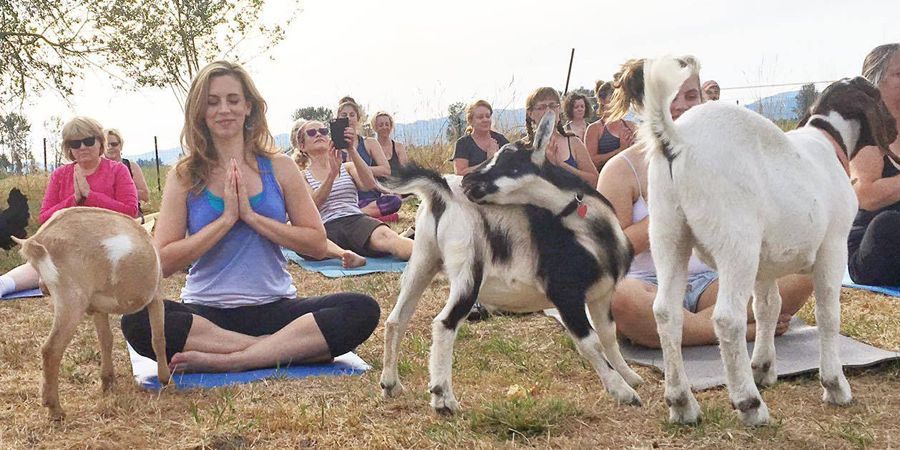 1473974854goatyoga6index.jpg