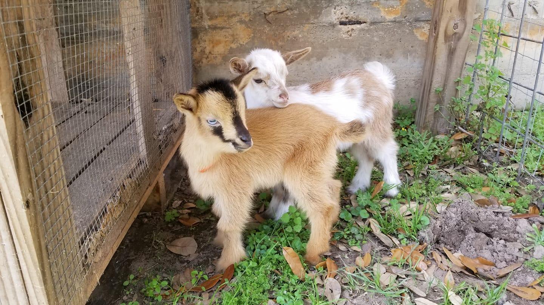 Goat Yoga Baby in Fulshear