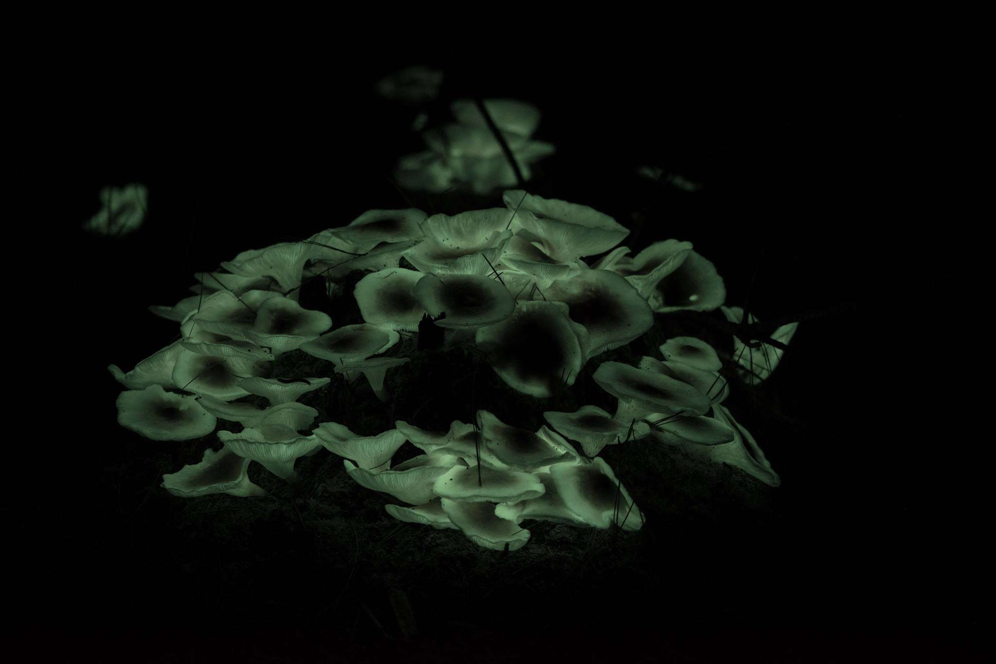 Photo by Ockert La Rou - Photograph of Ghost Mushroom as seen with the naked eye.