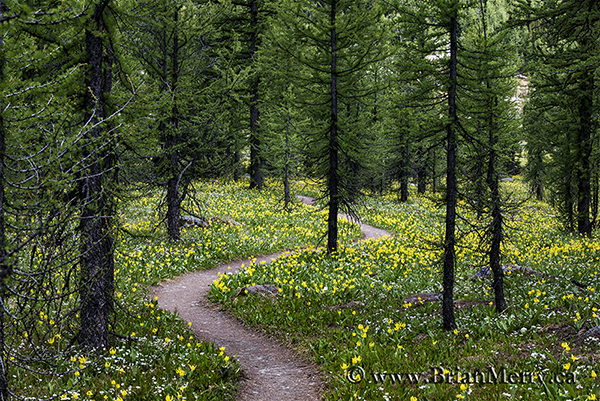 Hiking trail through a patch of Glacier Lilies