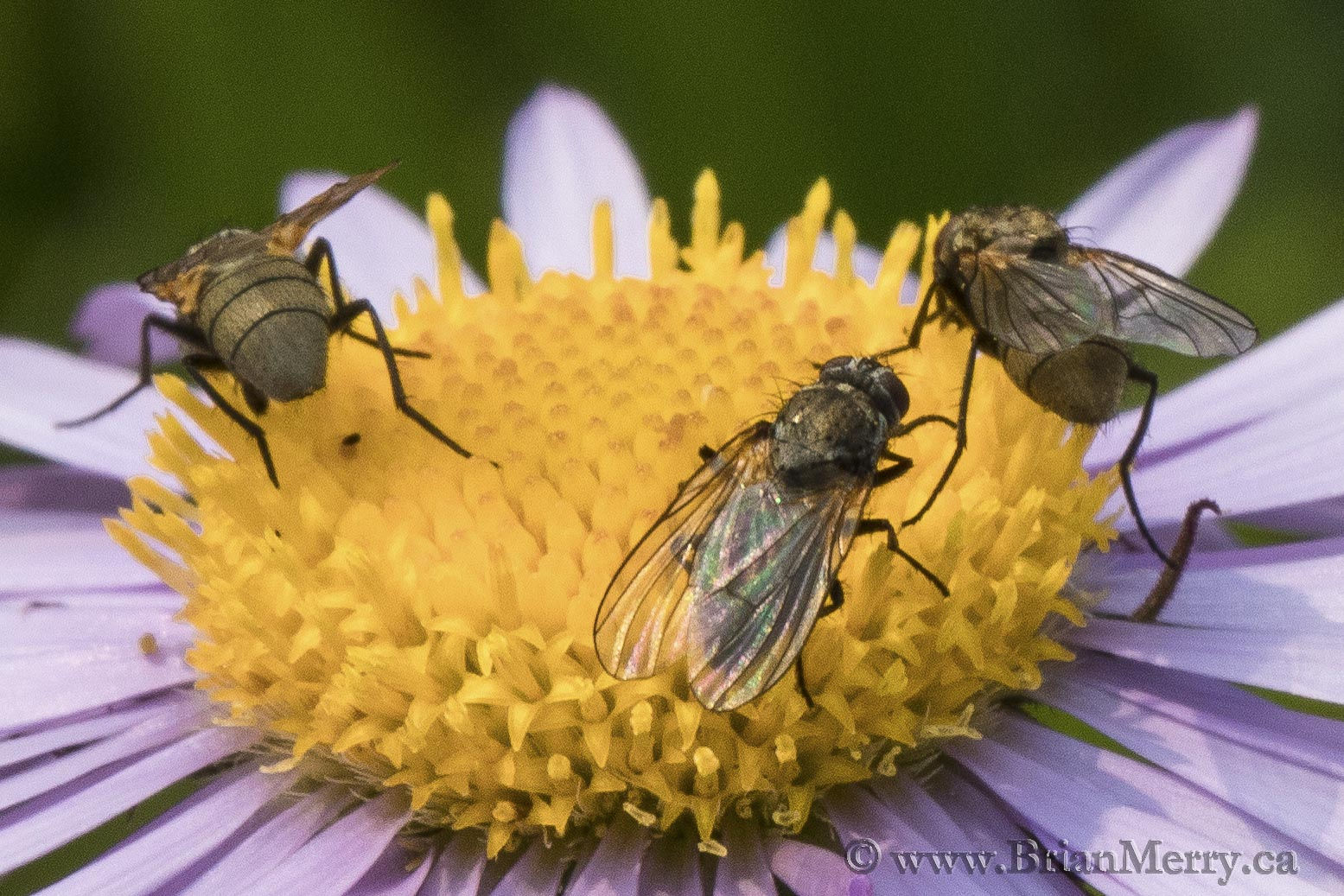 Pollinators at Work.  © www.brianmerry.ca