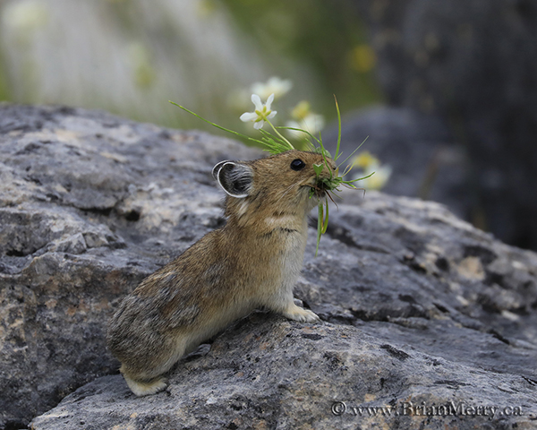Pika with flowers and grass on a harvesting mission.