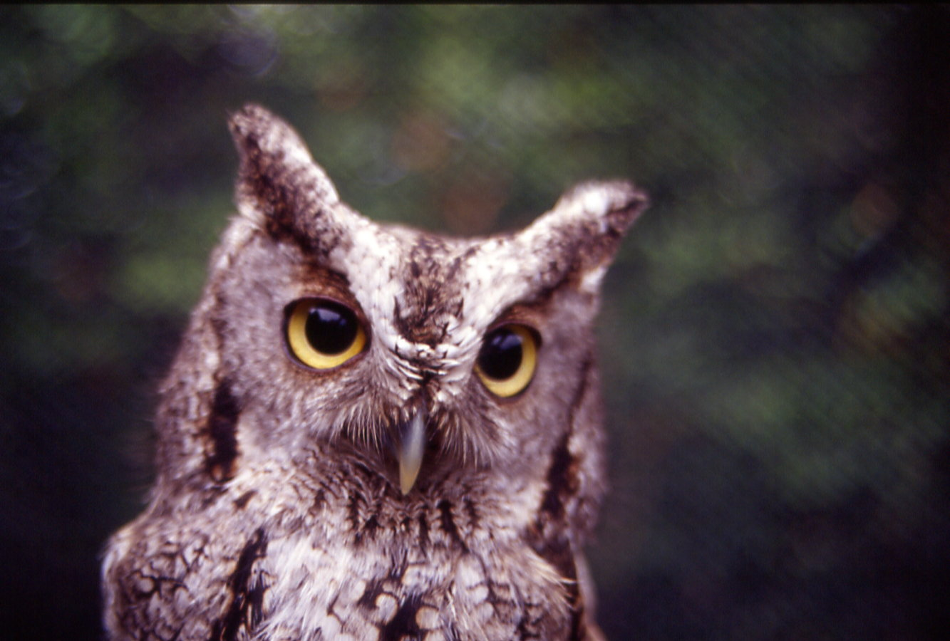 photo of a screech Owl