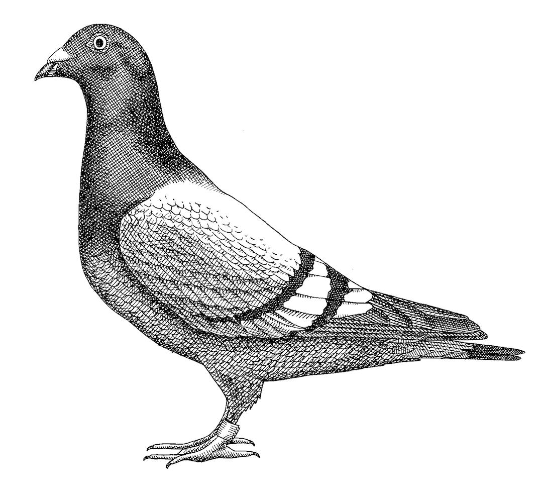 'Pigeon' by Bren Luke