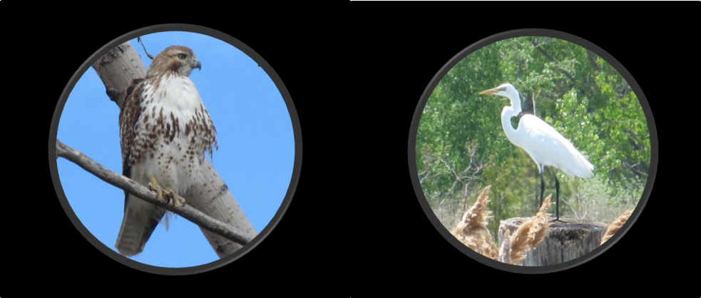 Hawk and Egret viewed through binoculars