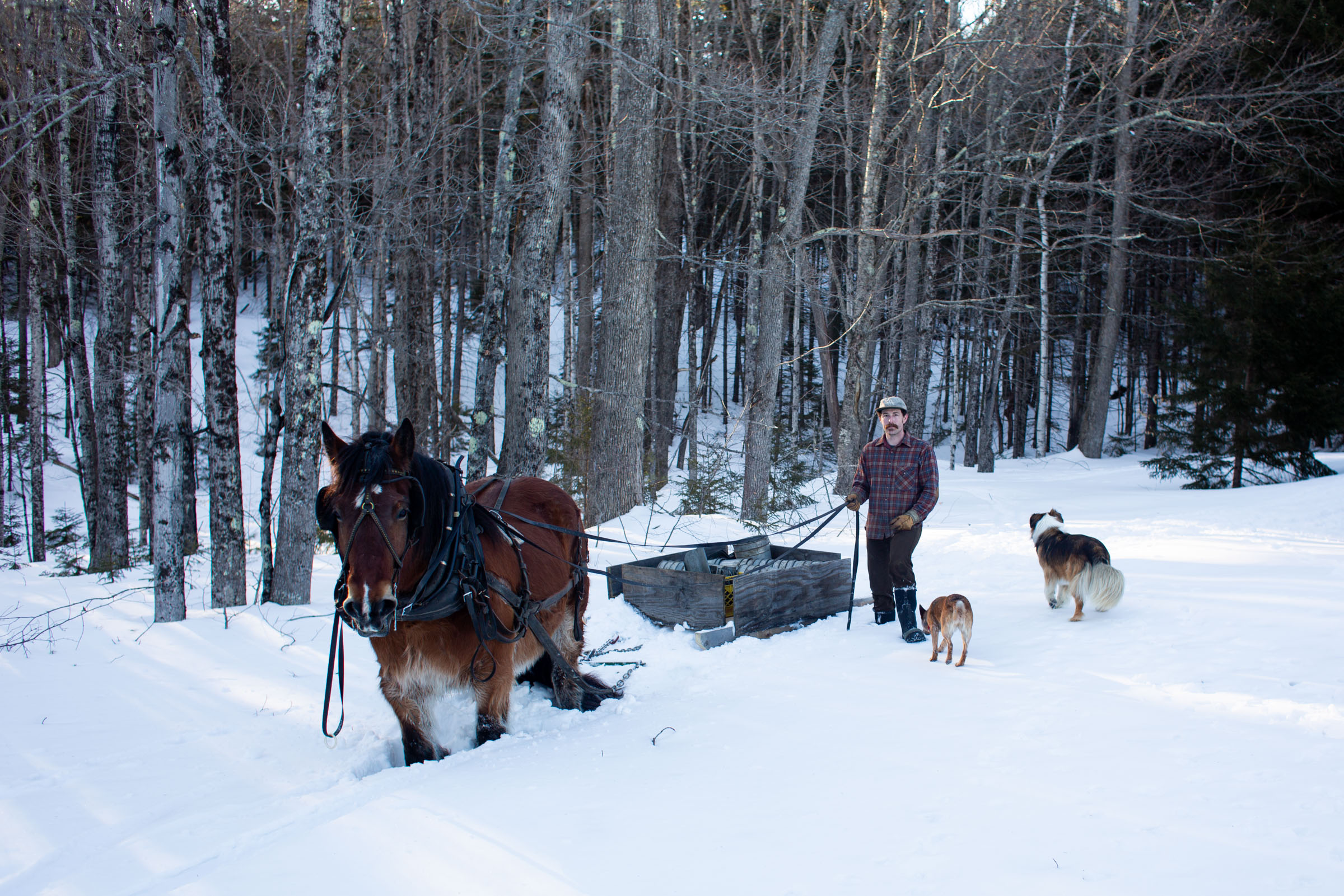 Horse powered Vermont maple syrup at Stitchdown Farm