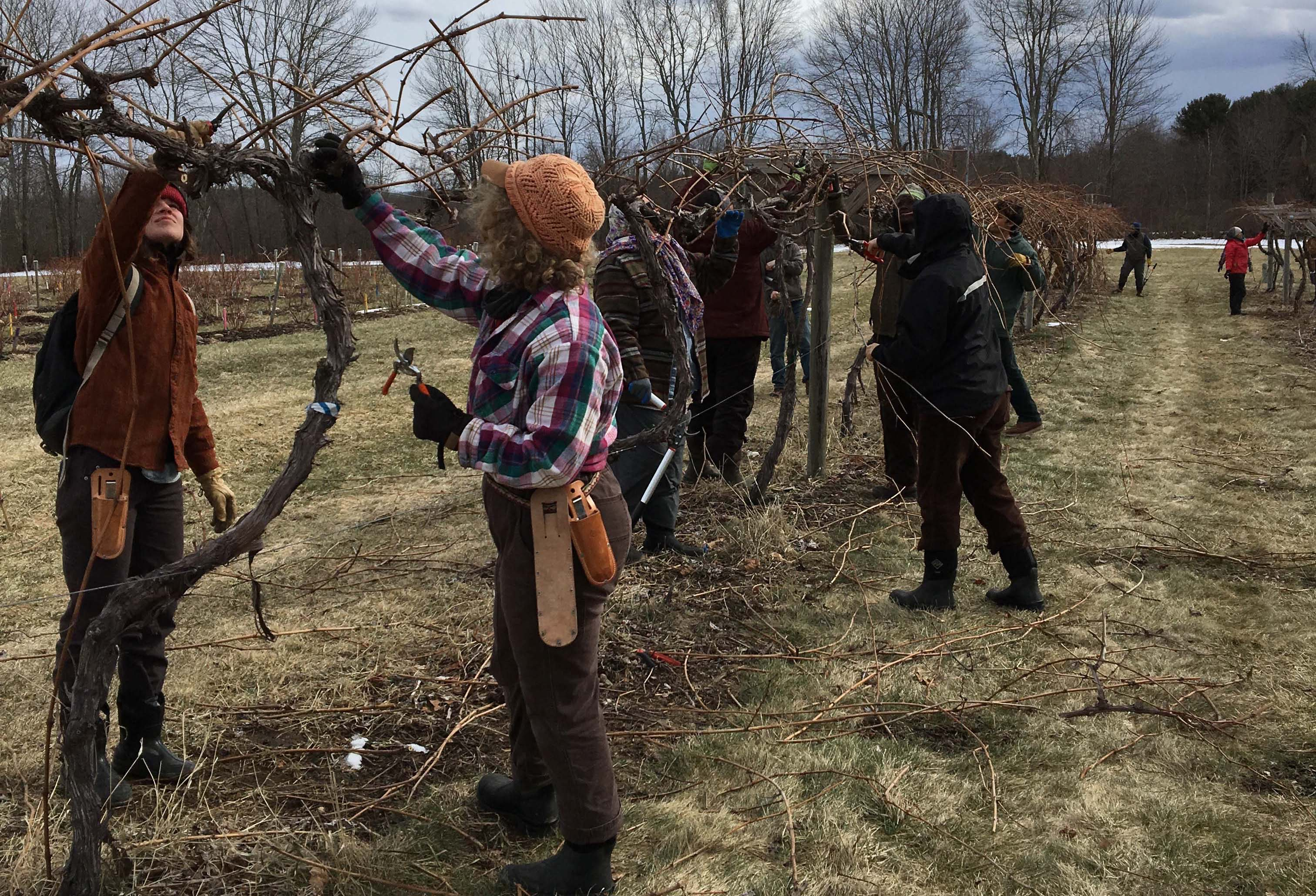 Grape Pruning