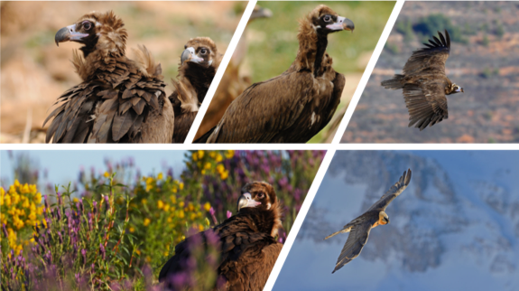 European Vulture Conference
