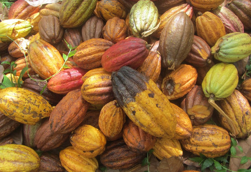 The stunning sight of the cocoa pods used for making Rococo's divine chocolate creations.