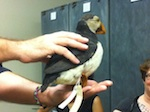 A puffin from the Moore Lab's collection