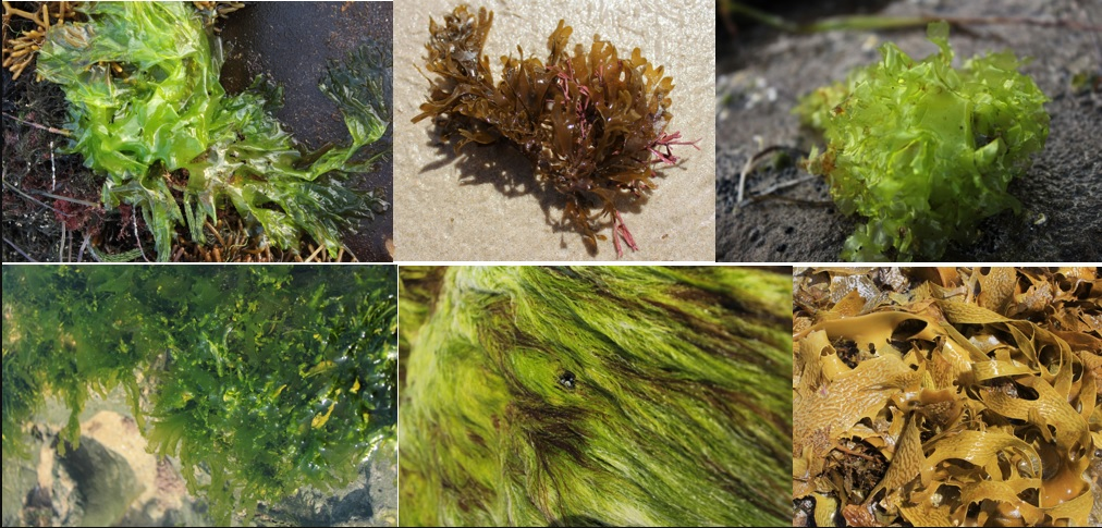 Variety of seaweeds that can be found along the Williamstown / Altona foreshore
