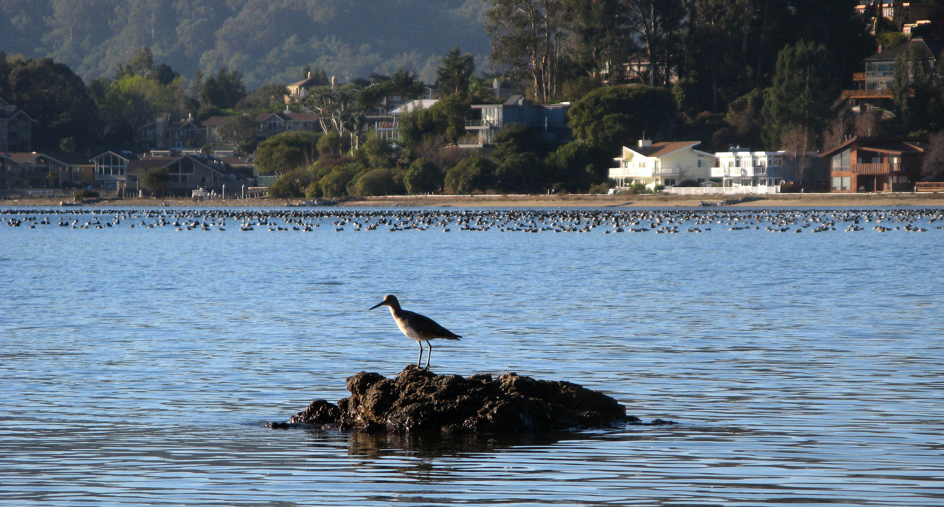 Willet with ducks on Richardson Bay