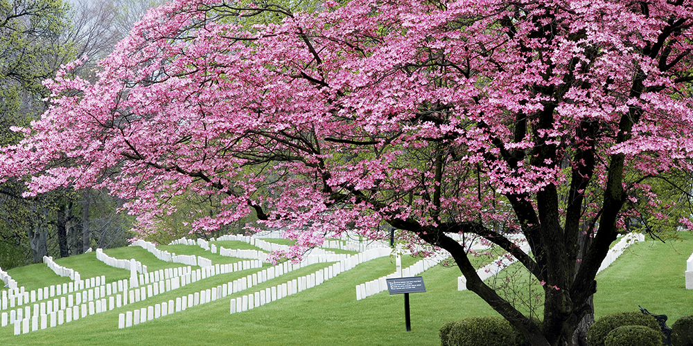 dogwood at National Cemetery