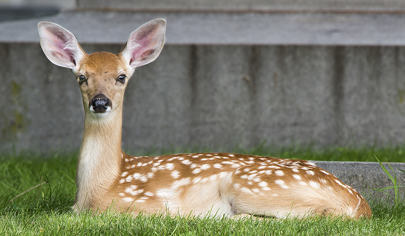 Fawn at Crown Hill