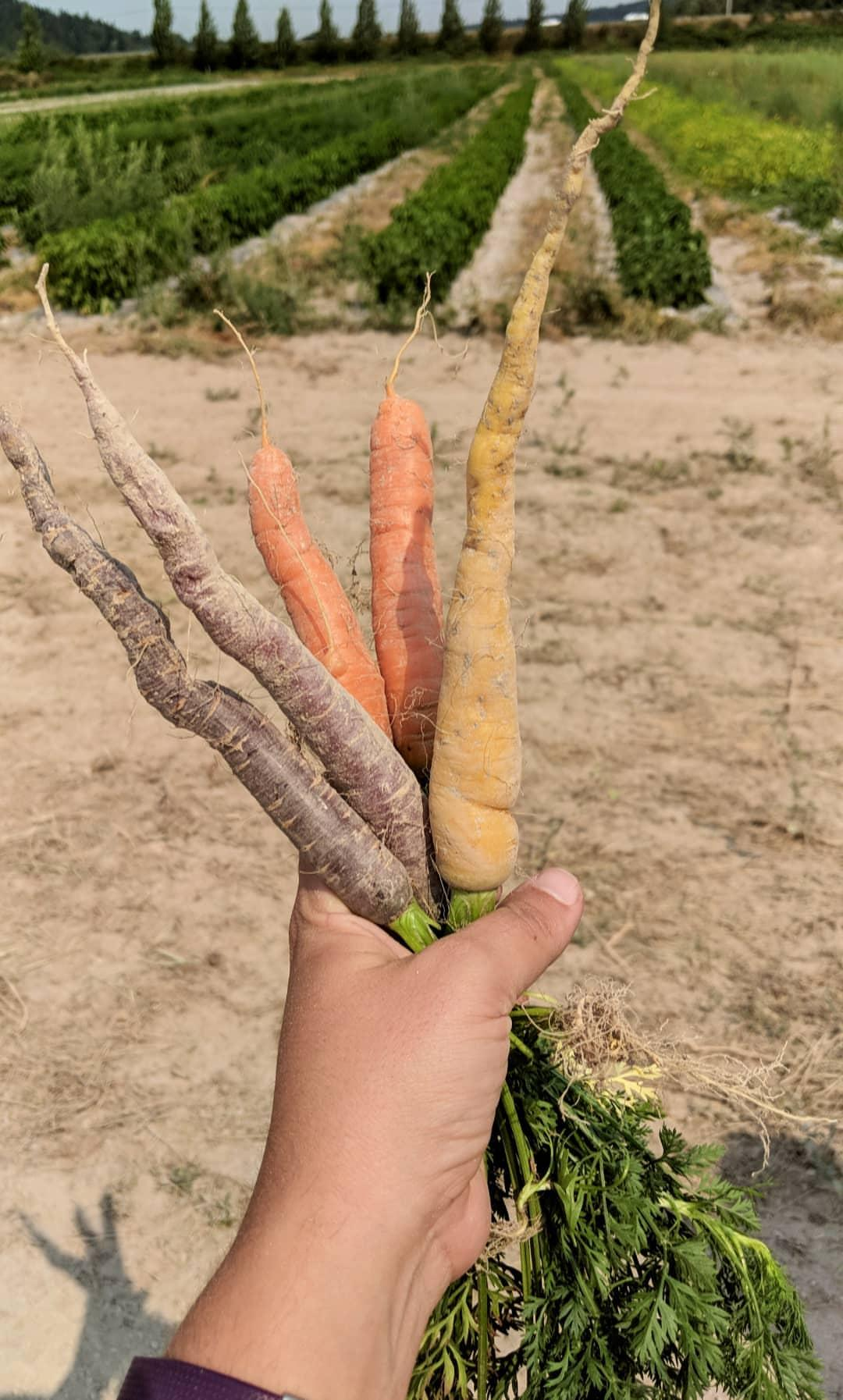 Carrots grown at Sound Sustainable Farms