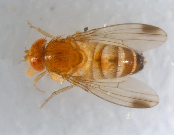 male spotted wing drosophila