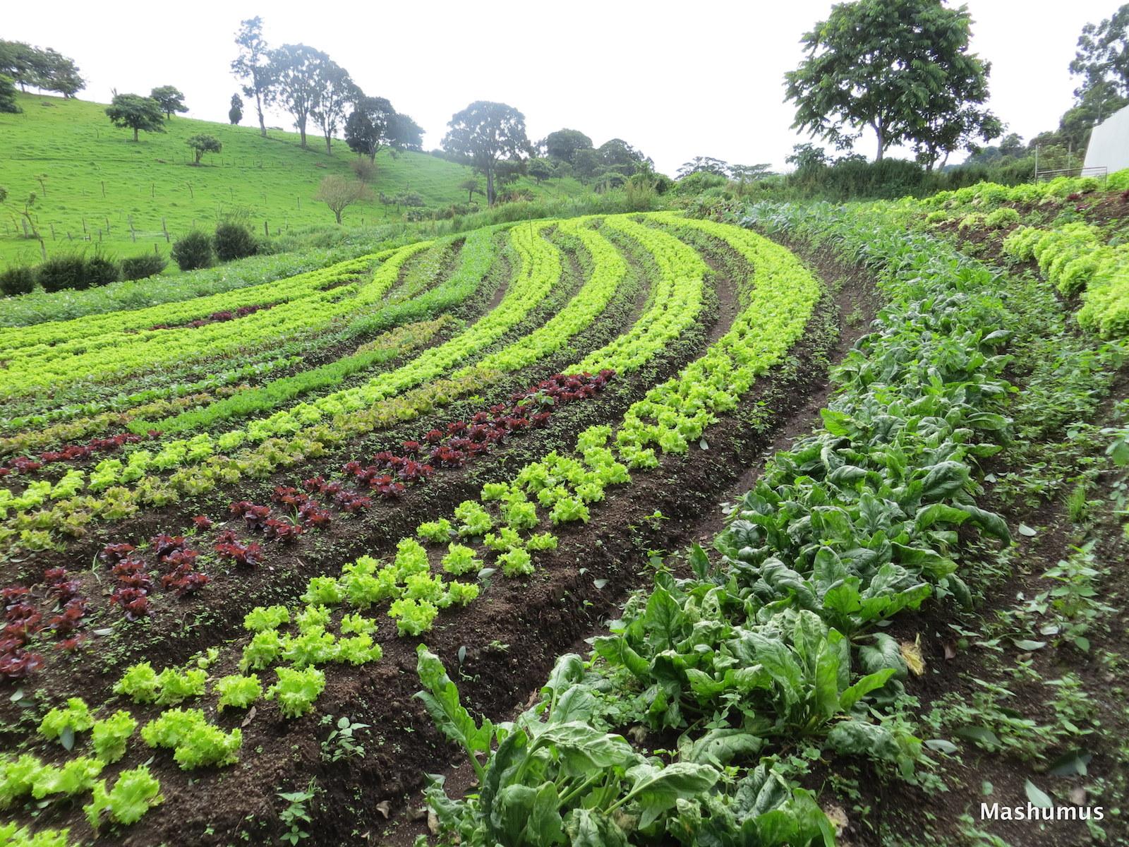 keyline lettuce