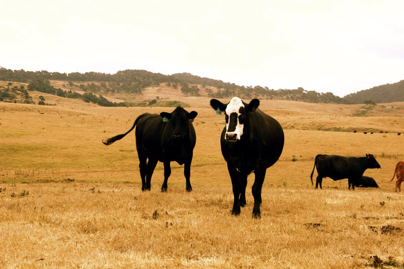 cattle at marin sun farms