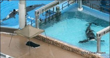 Killer Whales in the Wild Versus in Captivity - Meet the...