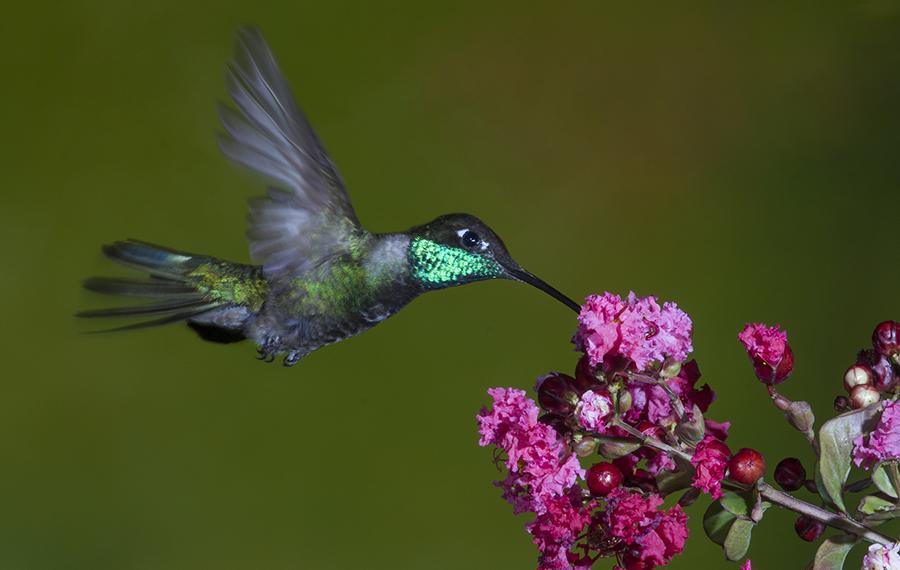 Hummingbird on Flowers