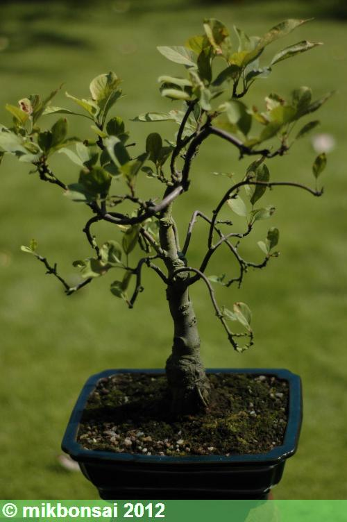 mikbonsai bonsai clinics and bonsai workshops