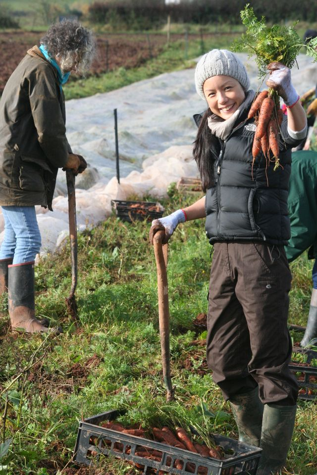 Volunteers harvesting carrots
