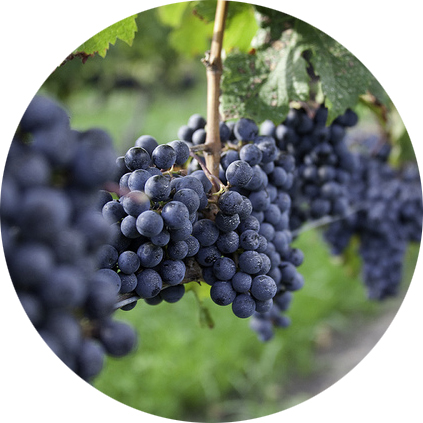 Cab Grapes