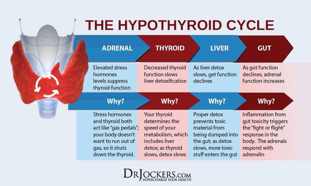 thyroid cycle
