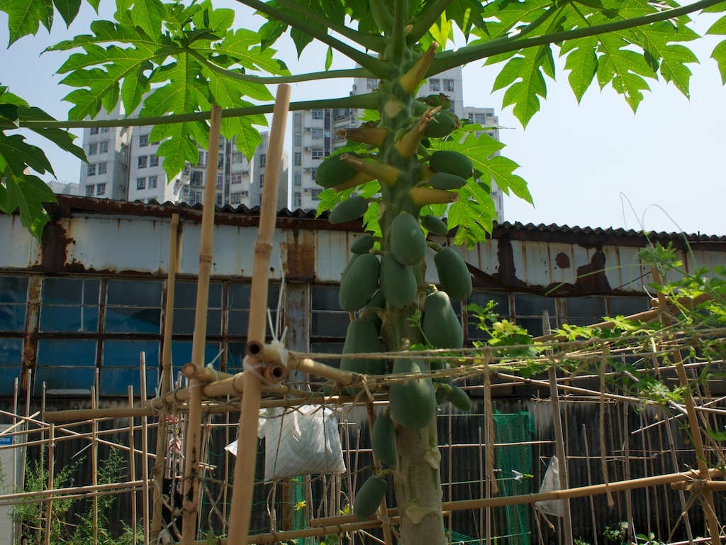 You can grow papaya in a box on a rooftop in HK